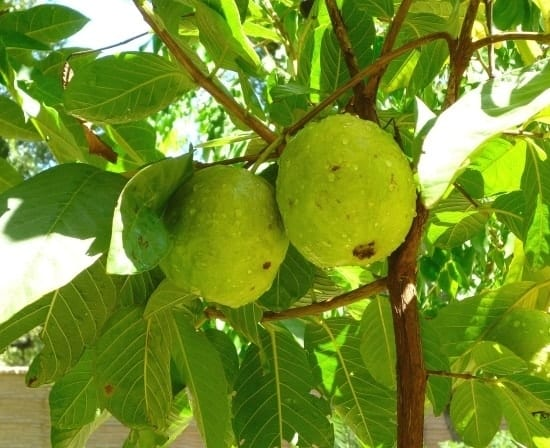 guavas hanging on a tree