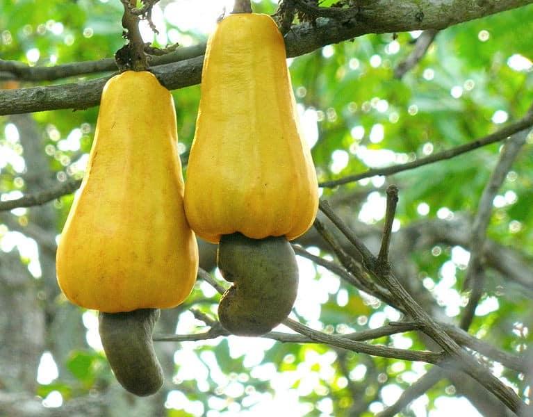 Ripe Cashew Apples by Abhishek Jacob (from Wikimedia Commons)