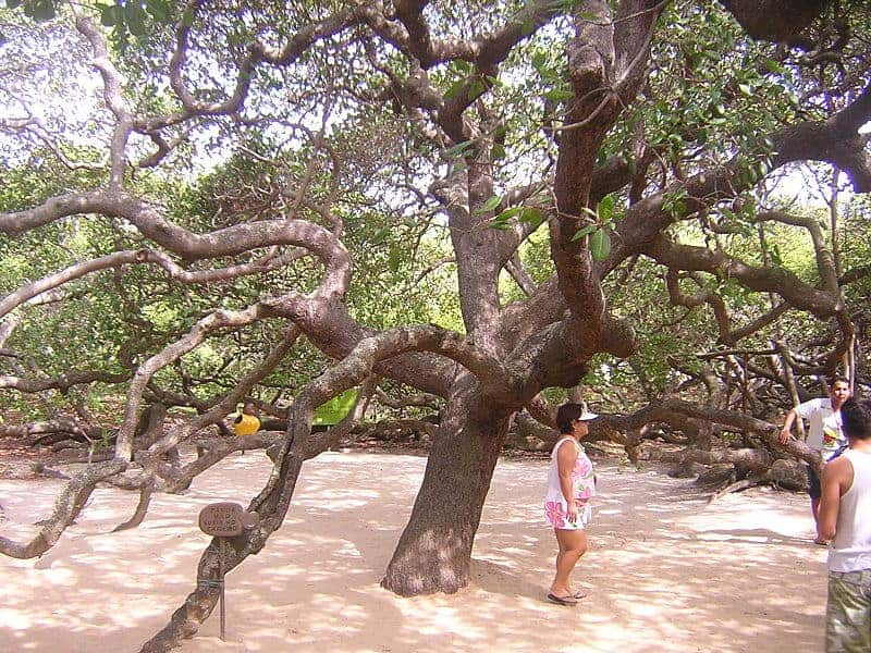 World's largest cashew tree by Wolfhardt from Wikimedia Commons