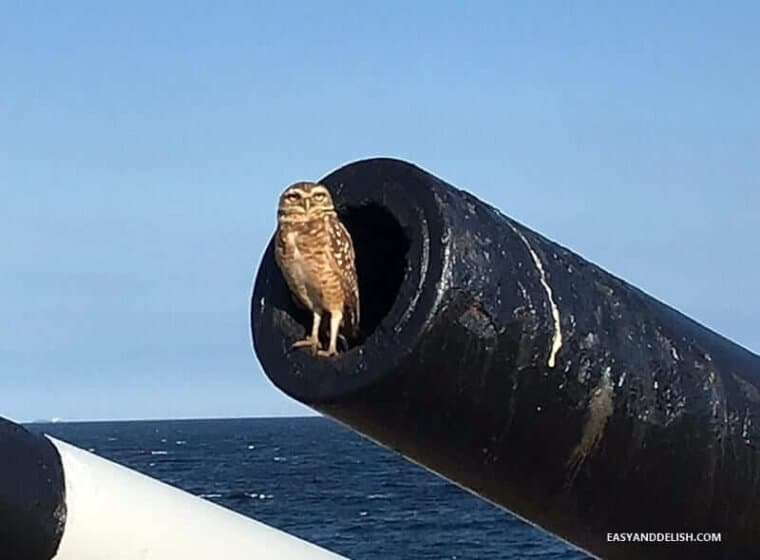 an owl standing in a canon of Copacabana fort