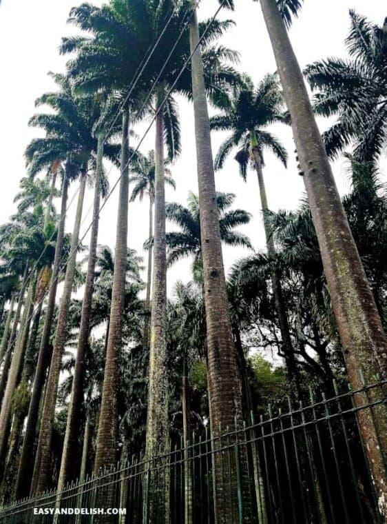 Royal palms on The Botanic Garden of Rio de Janeiro